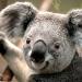 koala-web